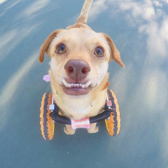 Meet The Pup With An Underbite, A Wheelchair, And A Story That Will Melt Your Heart