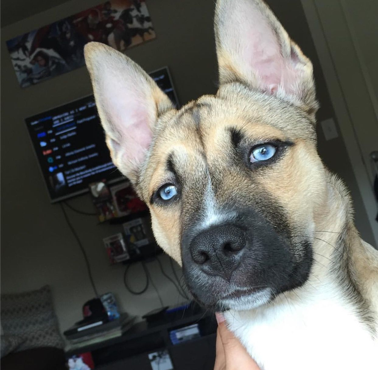 Husky puppies for sale yucca valley - Pitsky Puppy Puppy Pitskypuppy Huskypuppy Husky Cutepuppy Cutepuppies