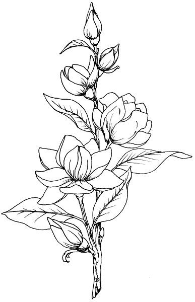 Beccy S Place Magnolia Beautiful Flower Drawings Flower Line Drawings Flower Sketches