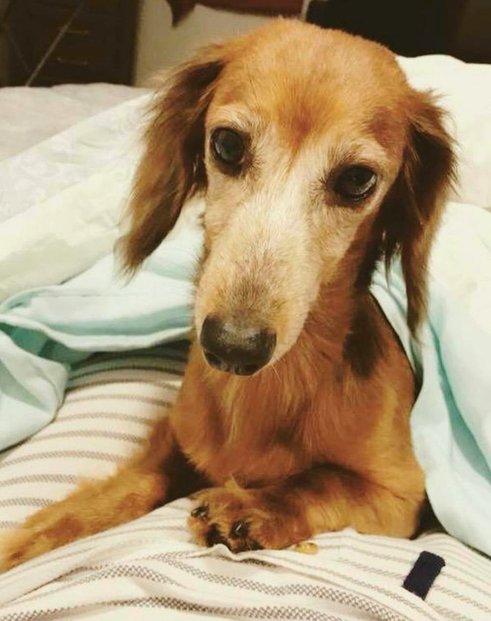 Adopt Lily on Pets, Dachshund, Animal shelter