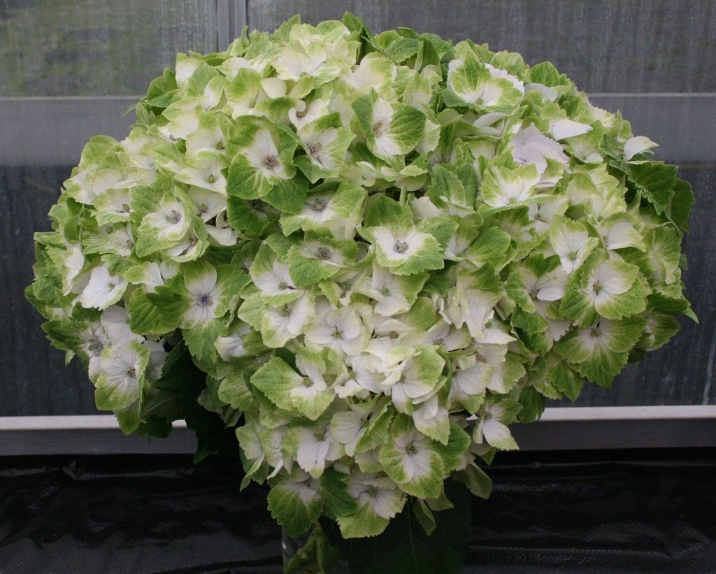 Hydrangea Everlasting Noblesse Ppaf Hydrangea Varieties Green Wedding Flowers Hydrangea