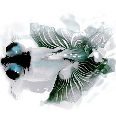 Black and white moor with butterfly tail goldfish for Expensive koi fish for sale