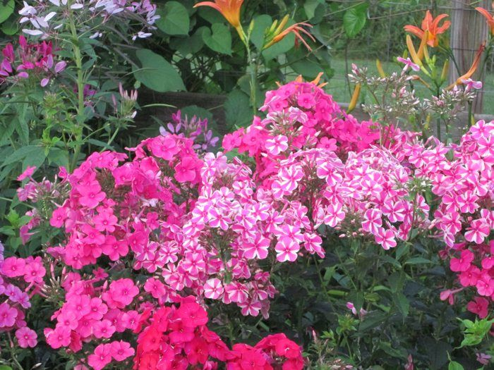 volcano phlox pink red and candystripe add loads of color to this late august garden