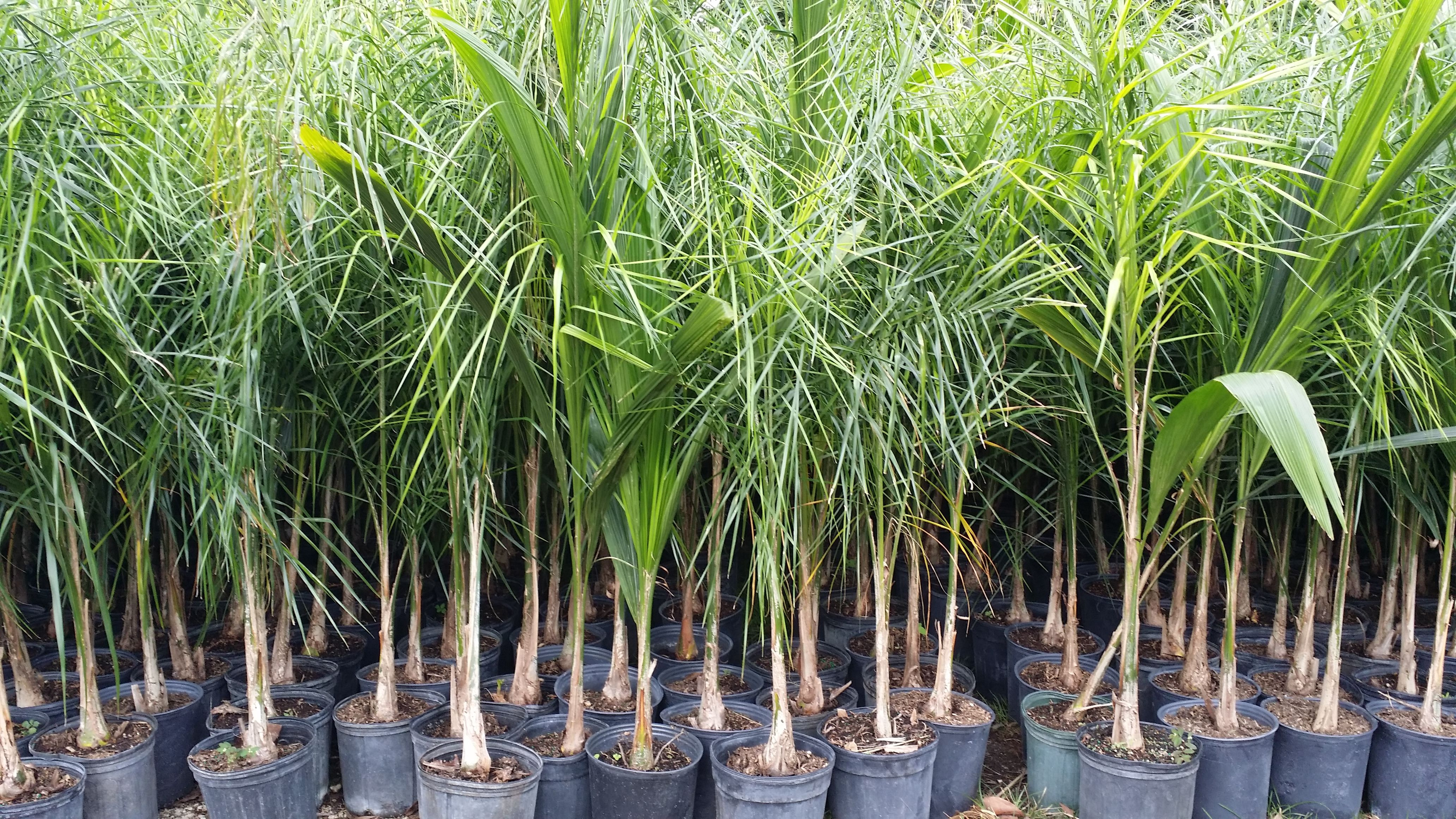 Cold Hardy Palm Trees Whole Plant Nursery Queen Palms Homestead Plants Liners