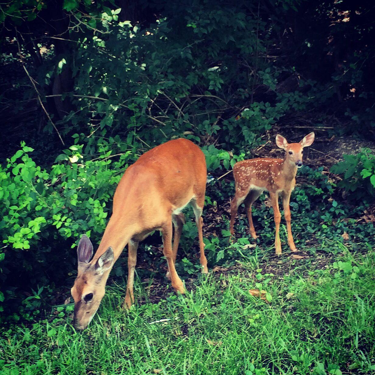 Deer at lake springfield springfield illinois sangamon