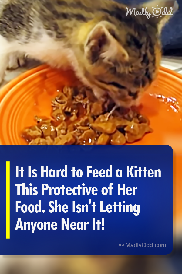 It Is Hard To Feed A Kitten This Protective Of Her Food She Isn T Letting Anyone Near It With Images Kittens Kitten Love Little Kitty