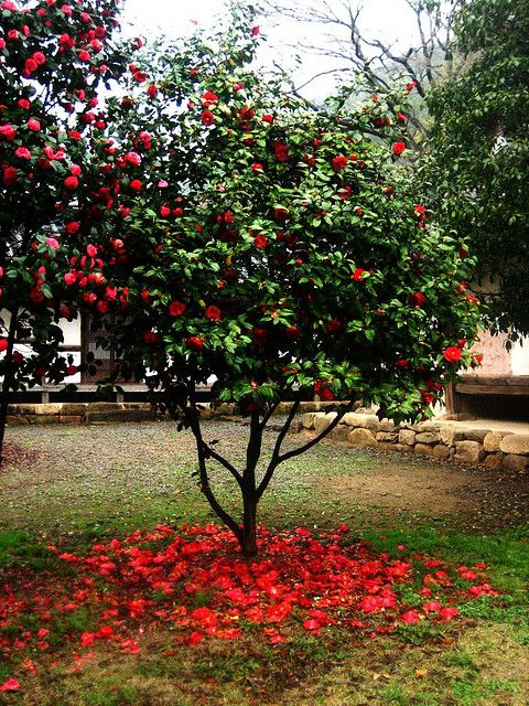 Red Camellia Tree Camellia Tree Camellia Plant Trees For Front Yard