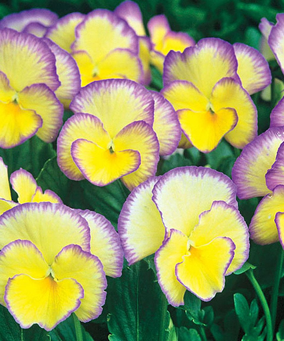 Spring Hill Nursery Live Everblooming Picotee Violet Pansy Plant