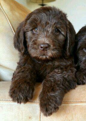 Chocolate Cockapoo Cute Dogs Cockapoo Puppies Cute Animals
