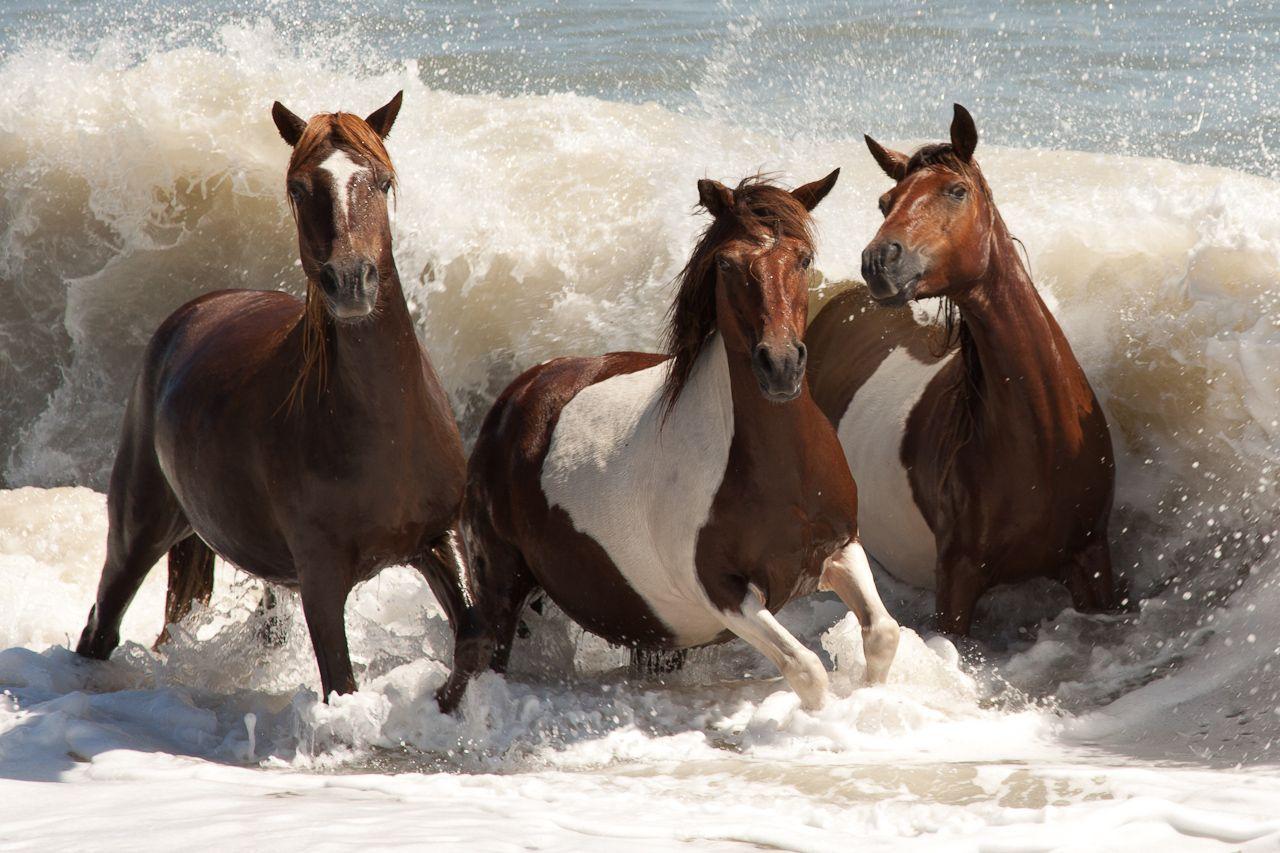 Three Ponies | wild horses | Horses, Chincoteague ponies