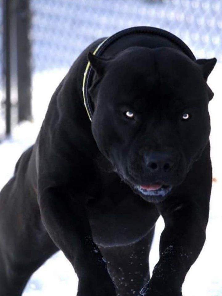 pitbull puppies for sale cheap,black panther pitbull