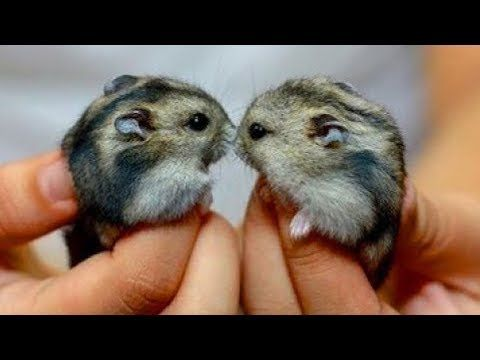 Funny Hamsters Videos Compilation 5 Cute And Funniest