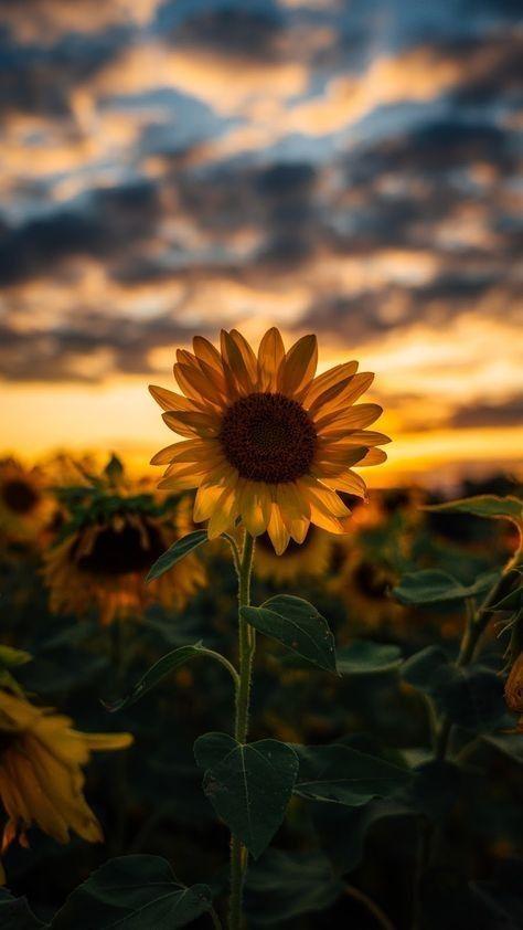 Tournesol Fond D Ecran Android Sunflower Iphone Wallpaper Best Nature Wallpapers Sunflower Wallpaper
