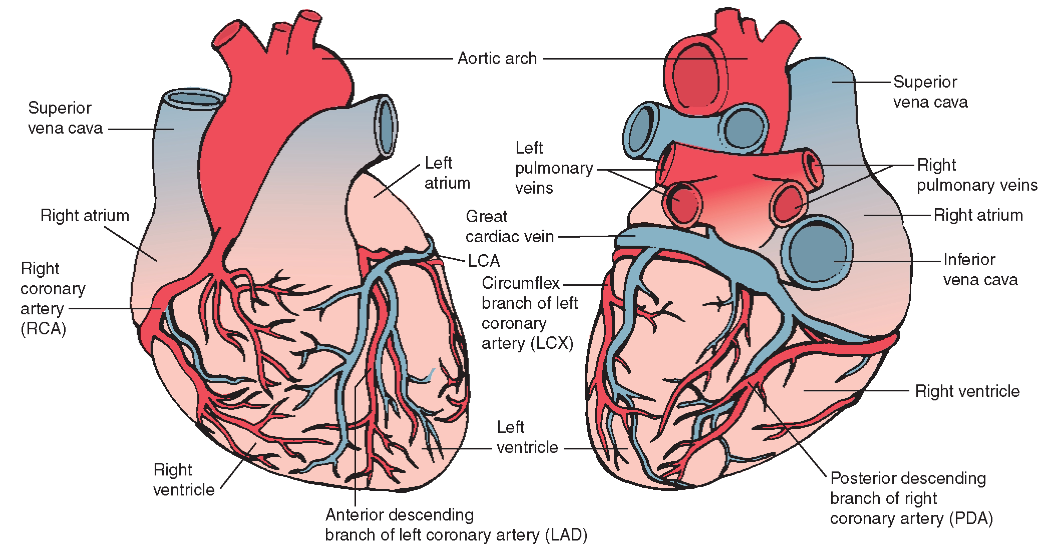 left lateral view of heart arteries and cardiac veins left anterior view right posterior view  [ 2085 x 1089 Pixel ]