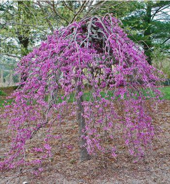 Gainier Du Canada Ruby Falls Cercis Canadensis Le Jardin Du Pic Vert Redbud Tree Flowering Trees Fast Growing Trees