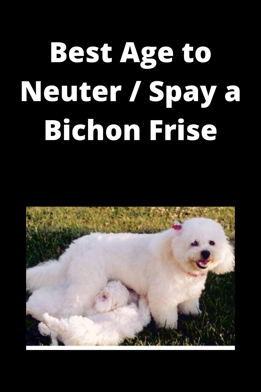 Best Age To Neuter Spay Bichon Frise Bichon Frise Bichon Bichon Dog