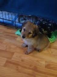 Adopt Tara On Dogs Dachunds Adoptable Dachshund Dog