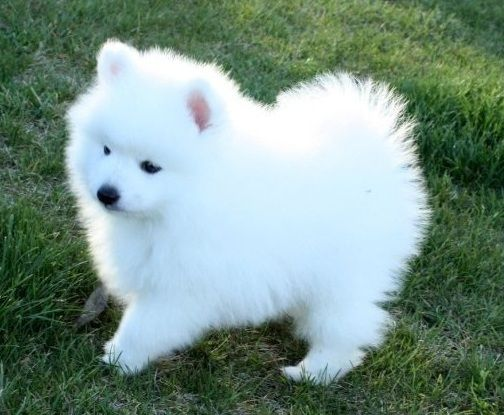 Japanese Spitz 10 Cutest Small White Dog Breeds  Me And
