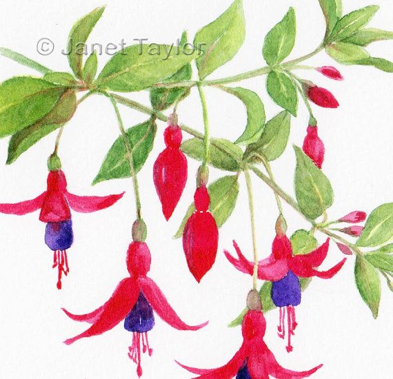 Fuchsias  Watercolour painting by Jan Taylor. by KeepersCottageArt