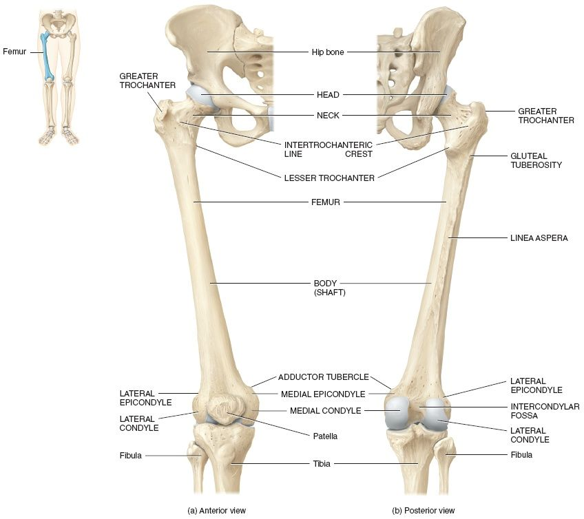 The acetabulum of the hip bone and head of the femur ...