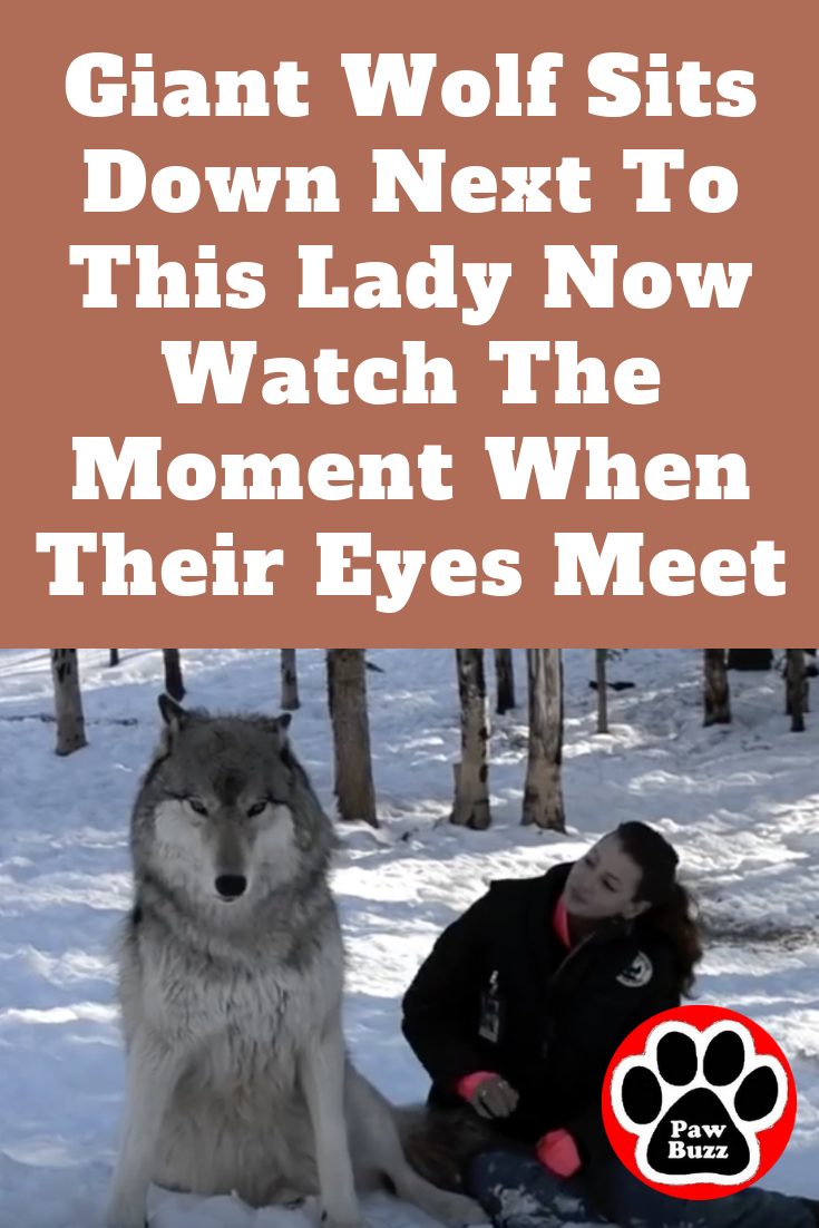 Giant Wolf Sits Down Next To This Lady Now Watch The Moment When