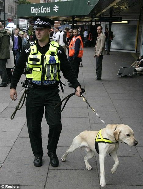 Trained Lab British Police Bomb Dog On Duty Police Dogs