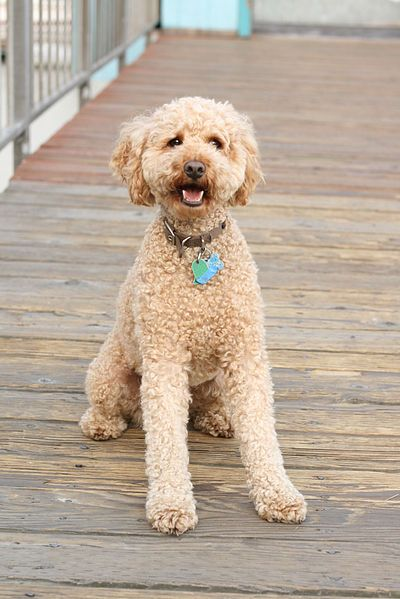 Simple Labradoodle Anime Adorable Dog - 38a9fd9a96bc227f8ebcc0000db22050  HD_792346  .jpg