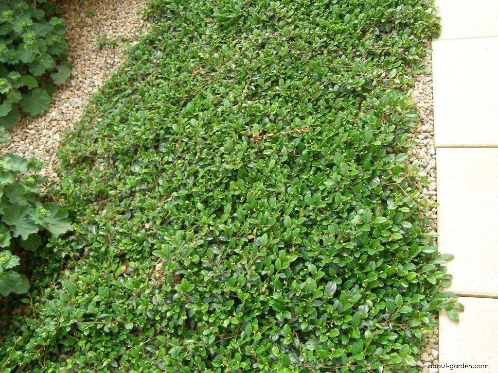 10+ Cotoneaster dammeri ideas  cotoneaster, plants, shrubs