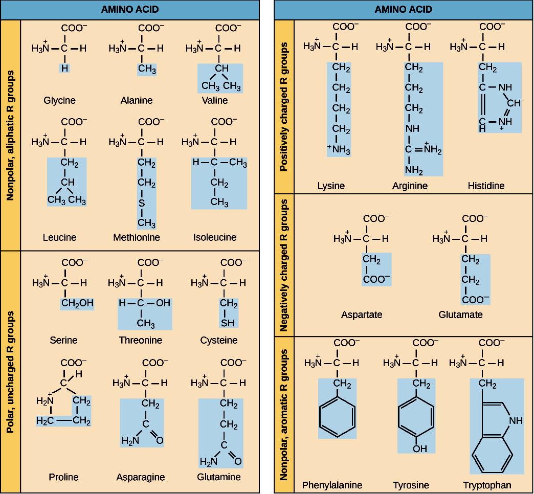 Amino Acids From The Kahn Academy