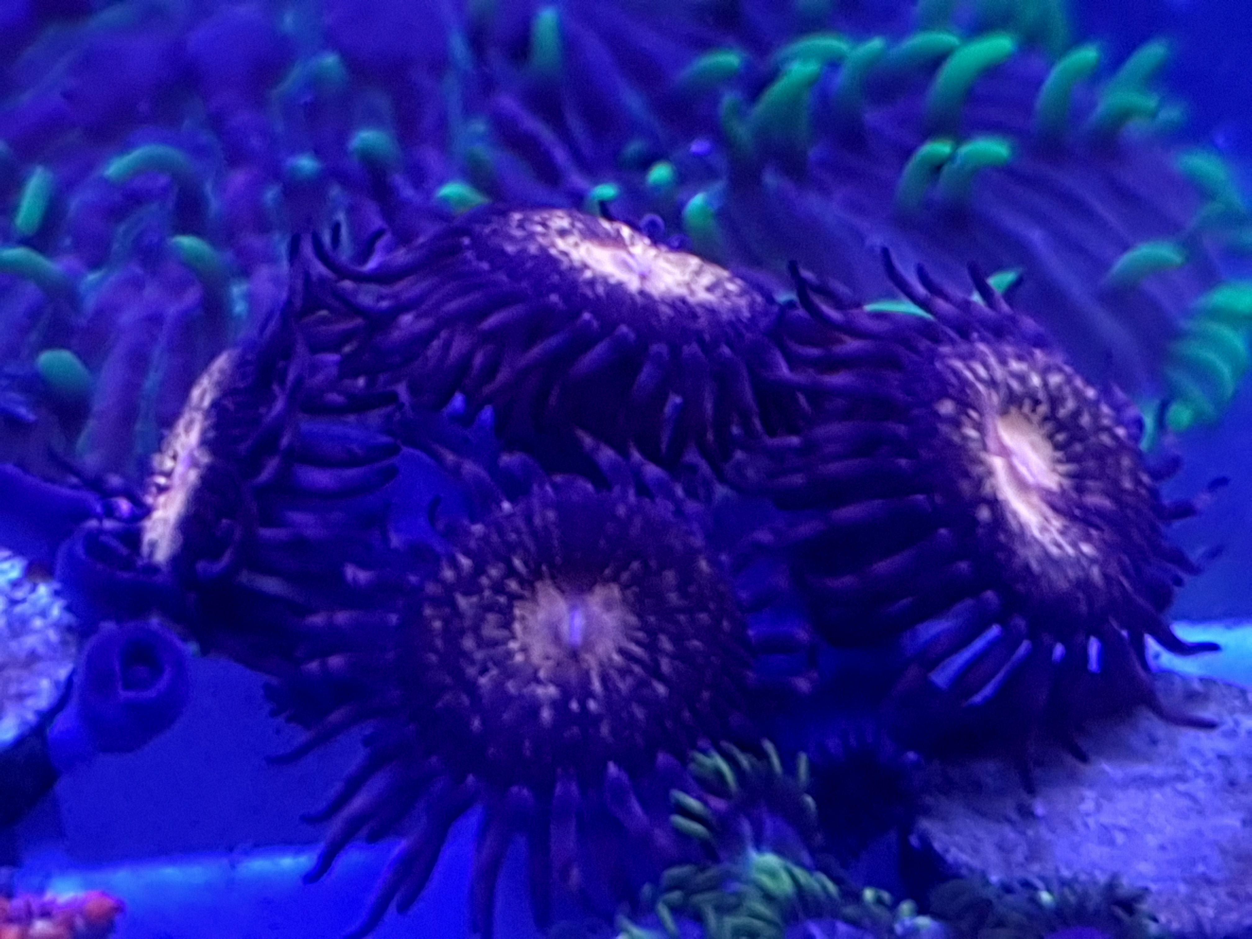 Krustenanemone Palythoa Reverse Space Monster Mind 6 Polypen Monster Ableger Anemone