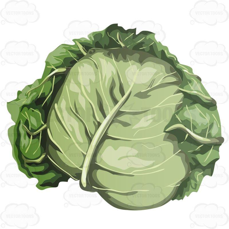 head of lettuce   head of lettuce, lettuce, vector pdf  pinterest
