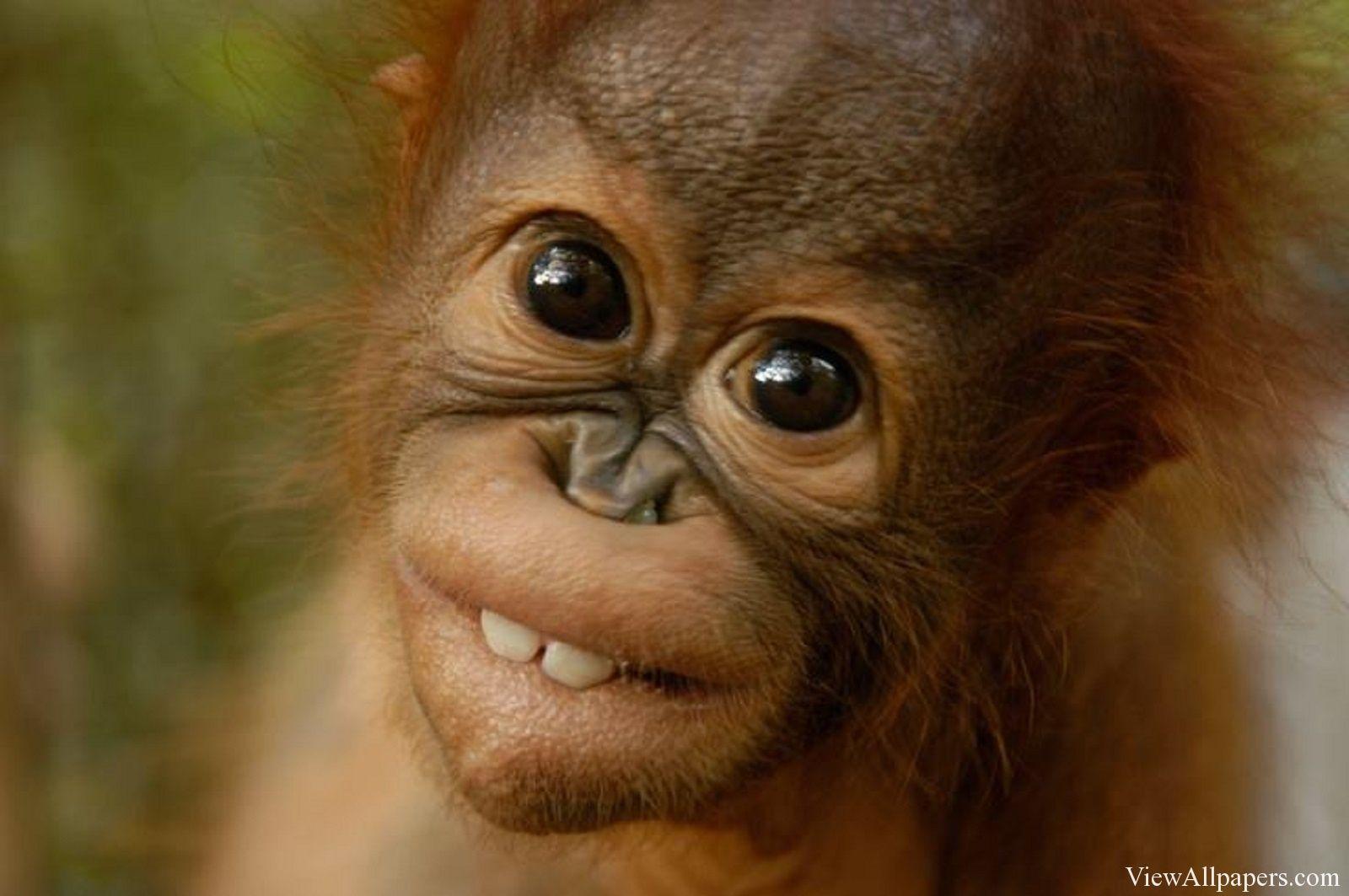 Animal Baby Orangutans High Resolution Wallpaper