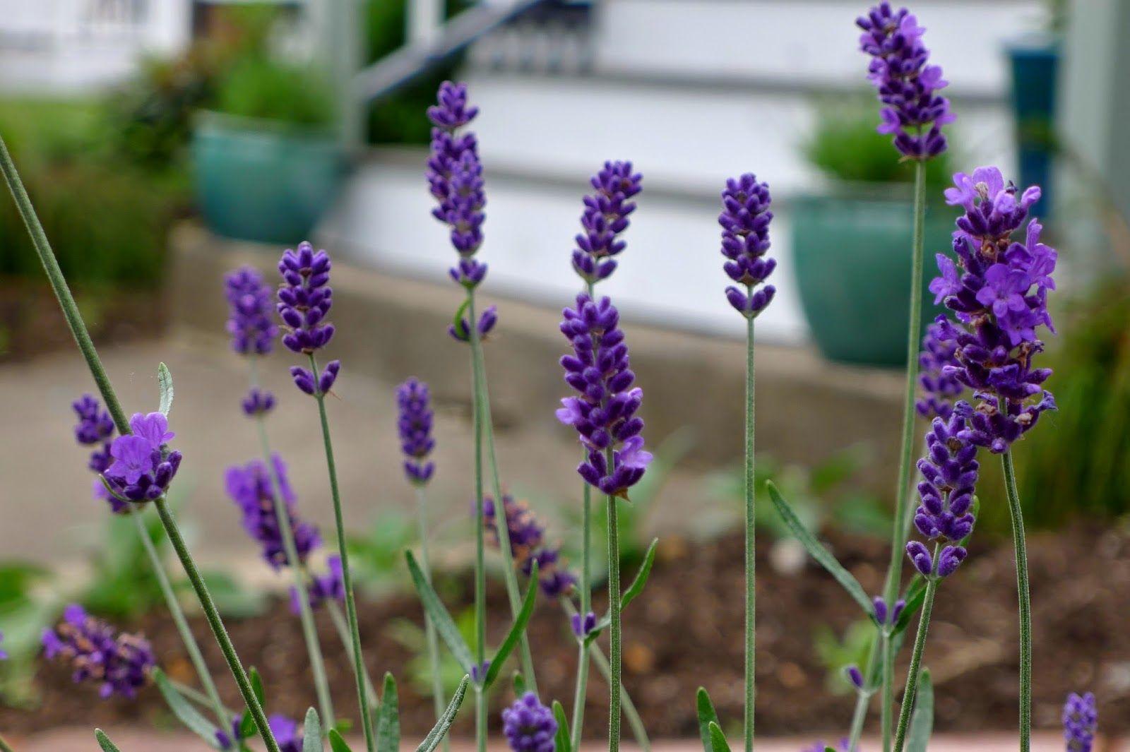 Less Noise More Green Edible Landscaping Project Hidcote Lavender Lavandula Angustifolia Perennial Herb Edible Garden Edible Flowers Edible Landscaping
