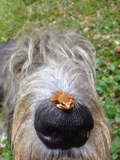 Irish Wolfhound... AND a Frog!
