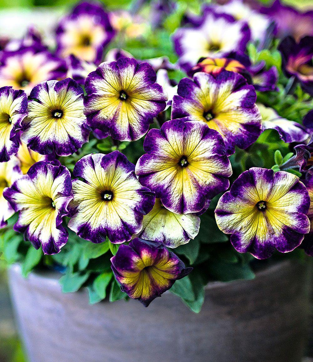Petunie Crazytunia Moonstruck Top Qualitat Kaufen Baldur Garten Pretty Plants Garten Petunias