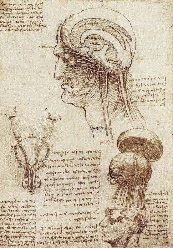 Da Vinci Study Of Brain Physiology Leonardo Da Vinci Art
