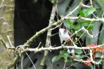 Red-whiskered Bulbul (Hawaii)