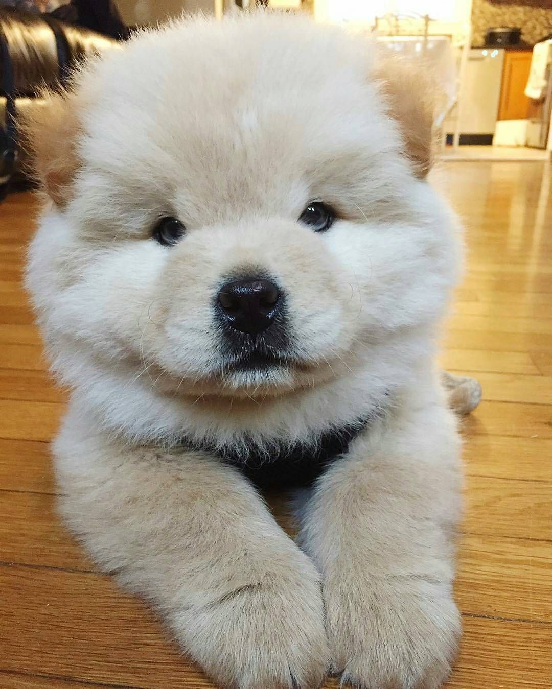 Baby Cream Puff Puppies Cute Baby Animals Cute Animals