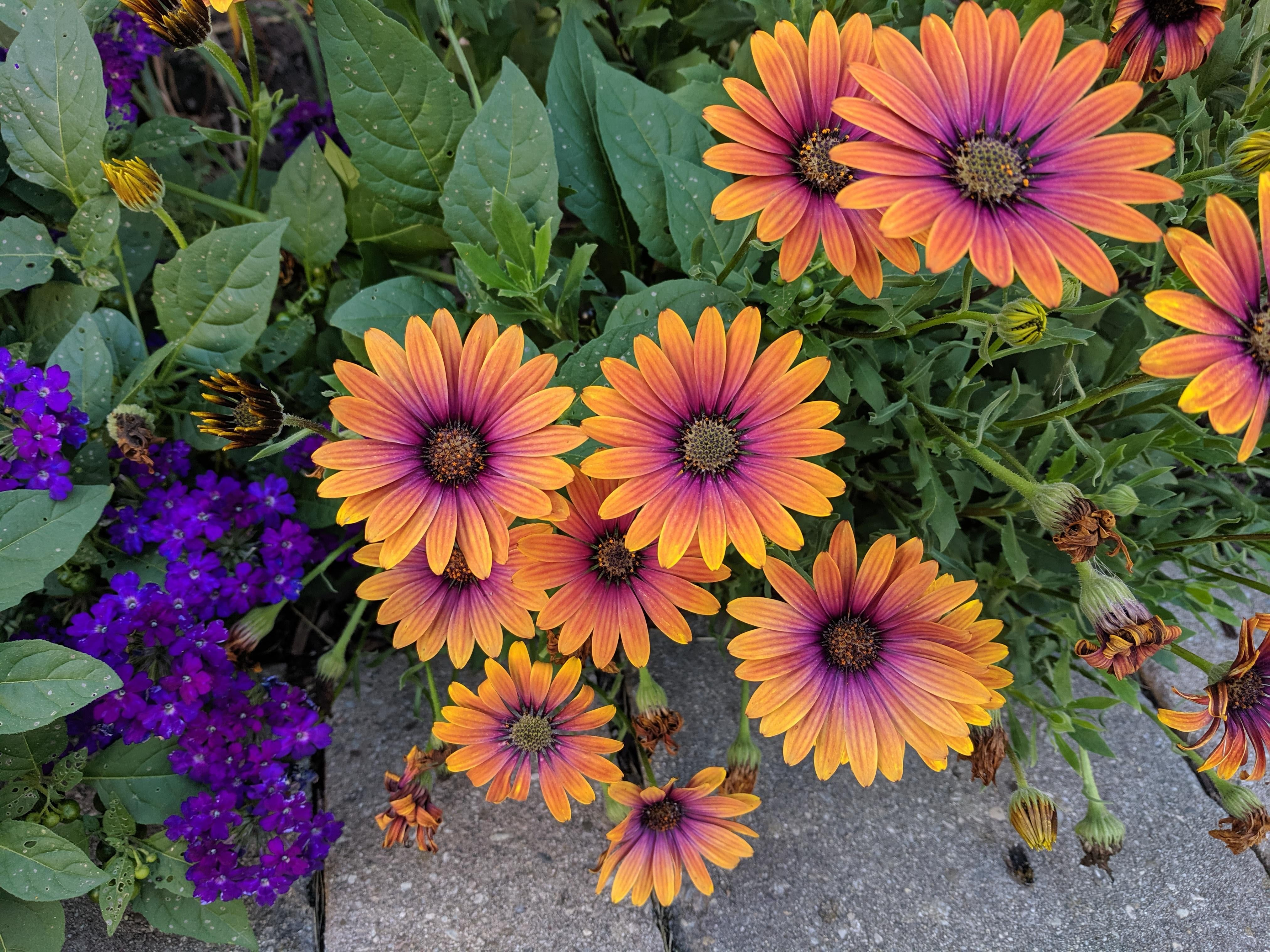 Gardening  - African Daisies have to be one of my favourite bouquets! : great On nature More