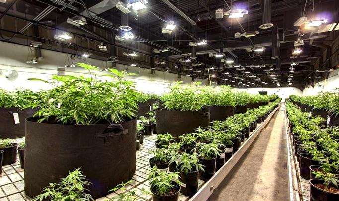 Wholesale CBD Hemp Biomass, Flower, Clones & Seeds - IHF LLC