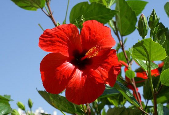 Flor De Maga Puerto Rican Hibiscus Type Flower Is The Official National Flower Of Puerto Rico Puerto Rico Art Puerto Rico Flowers