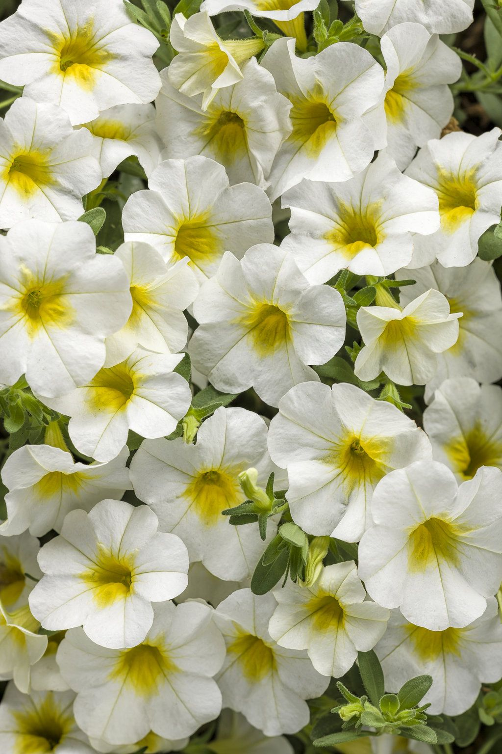 superbells over easy calibrachoa hybrid proven winners