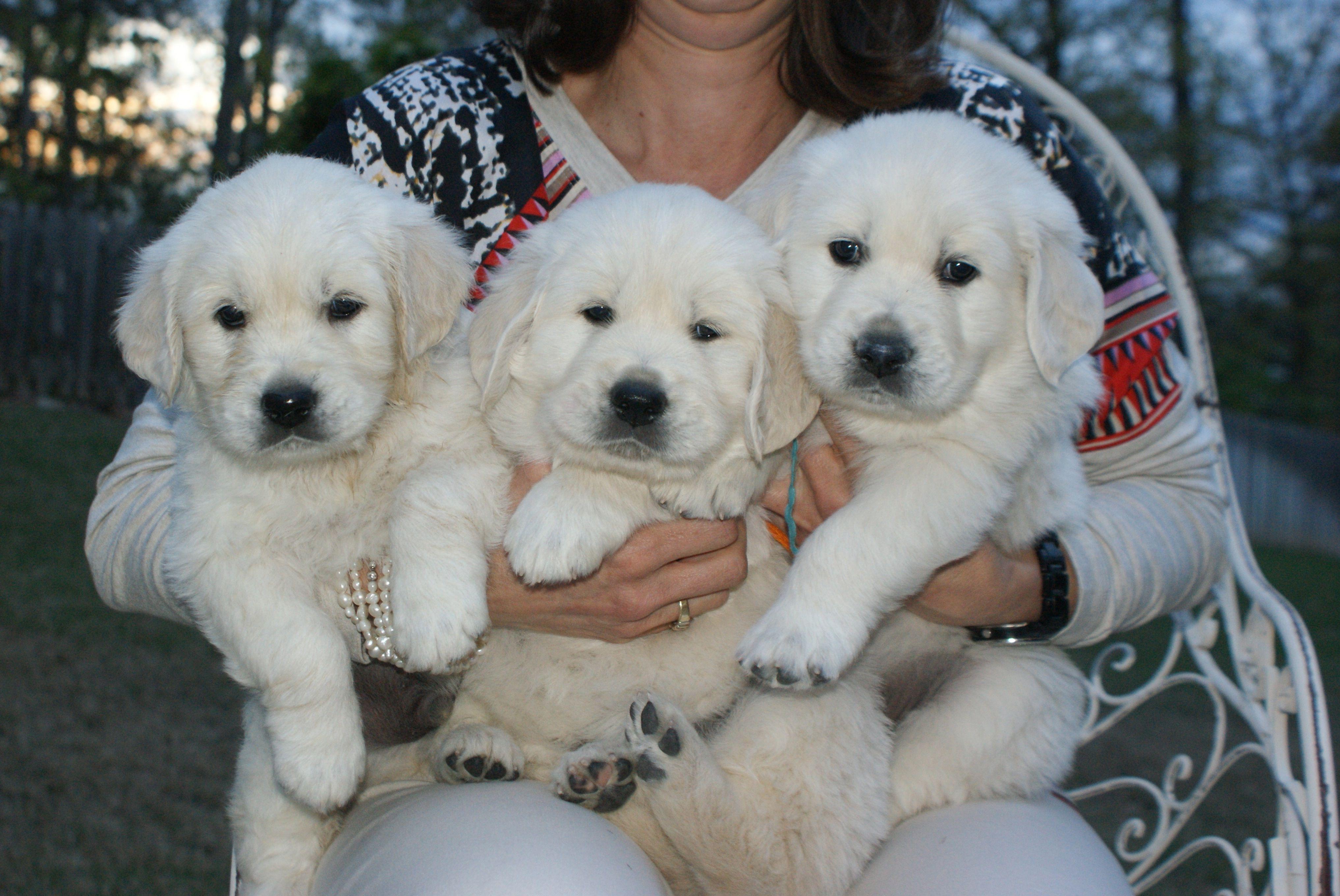 English Cream Golden Retriever Puppies Goldendoodle Puppy Mini