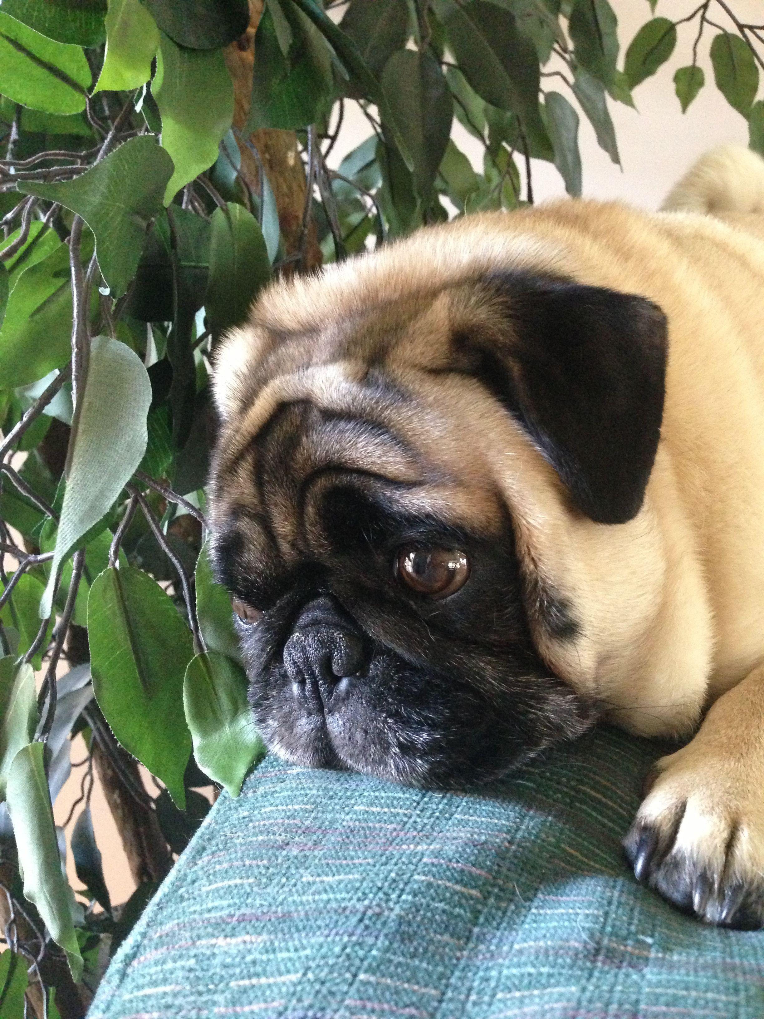Neo Pug Dog Puppy Bestfriend Pugs Dogs Puppies