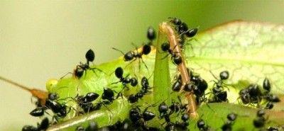 Como eliminar plagas, Hormigas | Plagas de jardín | Pinterest ...