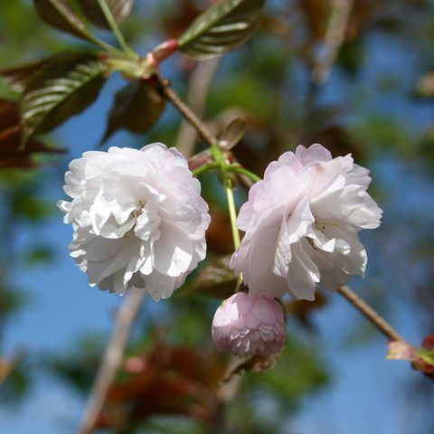 Flowering Cherry Trees Prunus Mail Order Trees Flowering Cherry Tree Ornamental Trees Flowers
