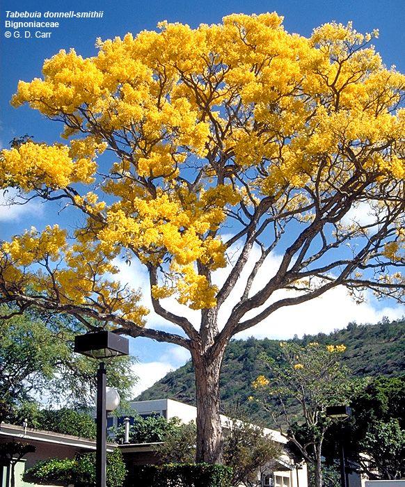 Tabebuia Donnell Smithii Prima Vera Gold Tree Lanai Ideasflowering Trees Hawaiiindiahouse Ideasliveyellowlandscapinggold