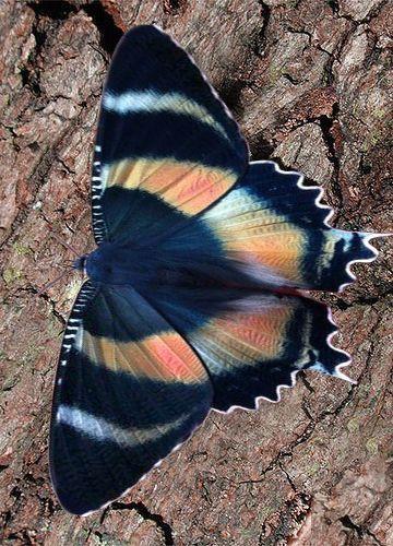 Alcides Metaurus Ist Eine Motte Aus Der Familie De In 2020 With Images Butterfly Photos Butterfly Species Beautiful Butterflies