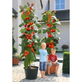 riesen baum tomate grandiccio g nstig online kaufen mein sch ner garten diy baum wolle. Black Bedroom Furniture Sets. Home Design Ideas