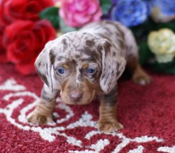 Dapple Dachshund Puppies For Sale In Missouri Zoe Fans Blog
